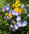 california poppy and canterbury bells