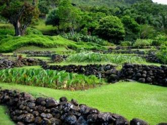 kalo garden in kauai