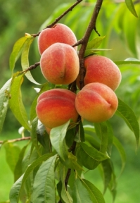 peaches ~ stock photo