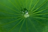 kalo leaf with water drop