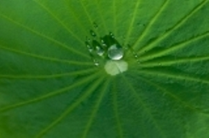 taro leaf with drop of water