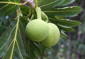 ulu - breadfruit