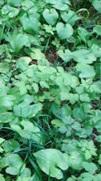 flowers: bunchberries
