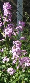 flowers: phlox