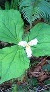 flowers: trillium