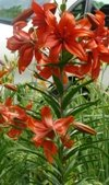 asiatic lilly