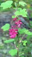 flowers: salmonberry blossom