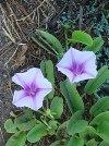 flowers: koali